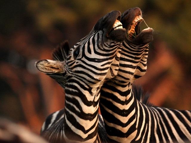 NP Brijuni - zebre